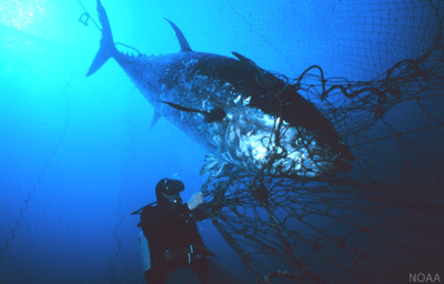 A Bluefin Tuna sold for $1.7 million in Japan