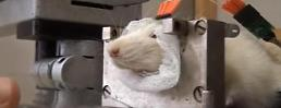 .Russia conducts research on 'bomb-sniffing cyborg rats'.