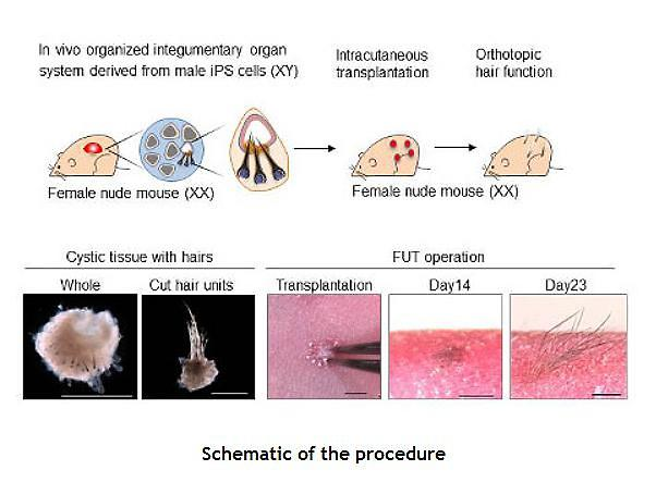 Researchers successfully grow hair out of artificial skin