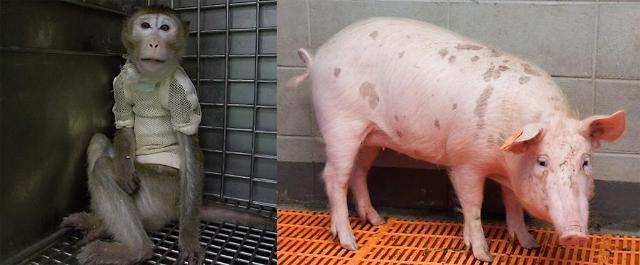 Monkey survives for 51 days after pig heart transplant