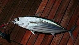 .Conglomerates to operate giant fish farms for bluefin tuna and salmon .