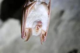 .Rare white bat spotted in S. Korea national park.