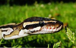 .Missing Indonesian farmer found inside Python.