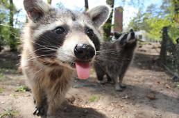 .Huge raccoon mistaken as kangaroo in California.