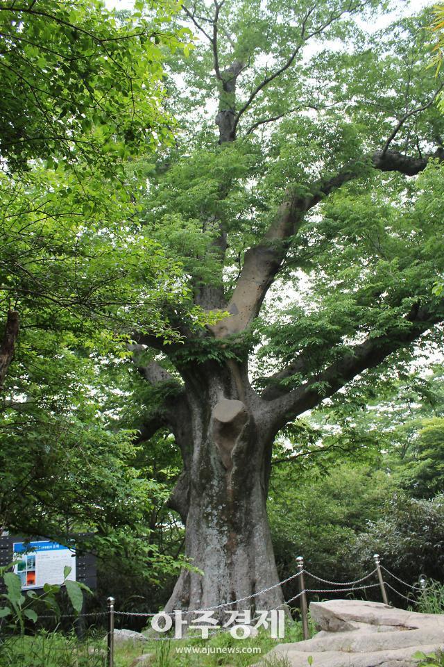 해남 느티나무 전라도 천년 대표나무로 선정