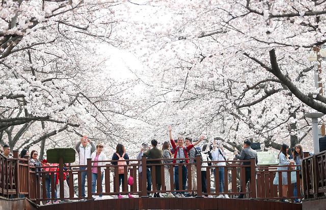 镇海樱花满开美如画