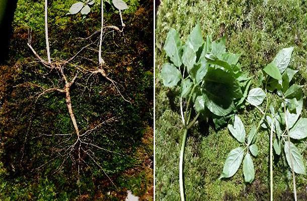 Mountain hiker finds more than 100 year old ginseng near hometown