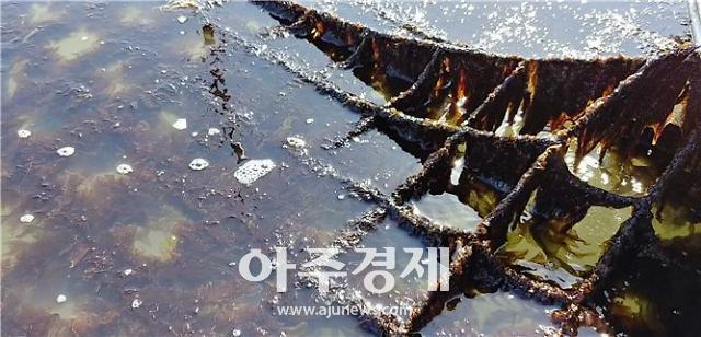 전남도, 7년여 재배시험 끝에 돌김 신품종 개발