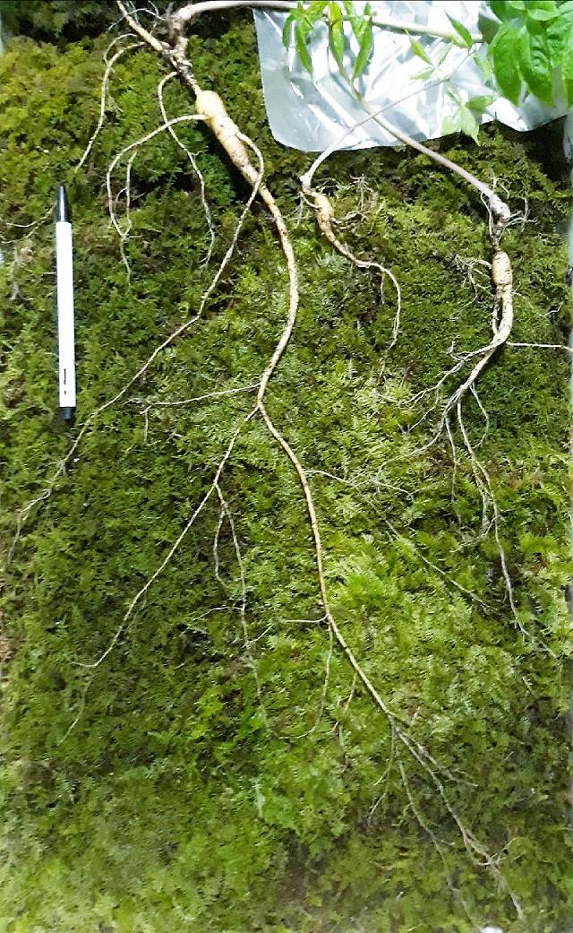120-year-old rare ginseng root discovered in S. Korean mountain