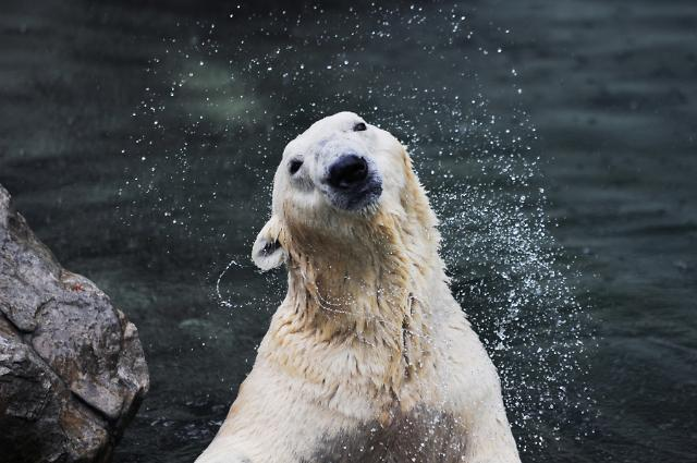 S. Koreas only polar bear allowed to move to British animal park