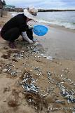 [PHOTO NEWS] Shoals of anchovies driven to beach in S. Korea
