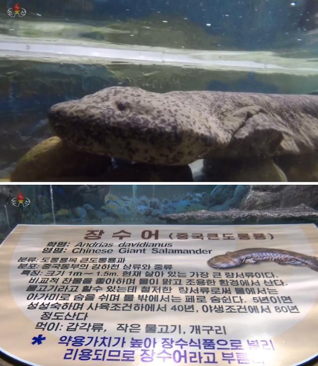 [PHOTO NEWS] Leaders gift, Chinese salamander in Pyongyang zoo