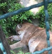대전동물원 탈출 퓨마 결국 사살