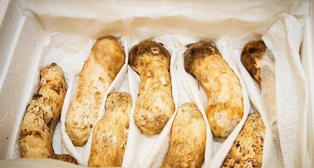 北이 선물한 송이버섯 2톤, 가격은?