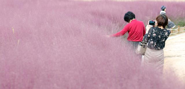 秋日也可以粉粉哒 韩国庆南现粉色花海