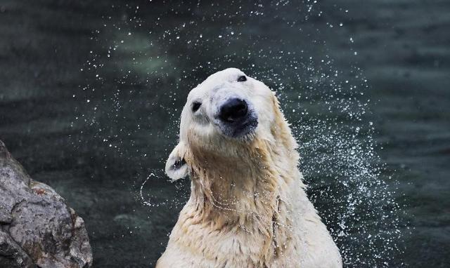 국내 유일 북극곰 '통키' 하늘나라로