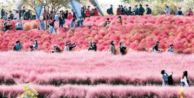粉色芒草装点的首尔天空公园