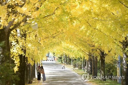 秋色染黄银杏树