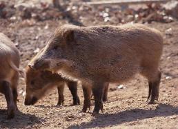 김해 밭에서 60대 멧돼지 물려...경찰이 사살