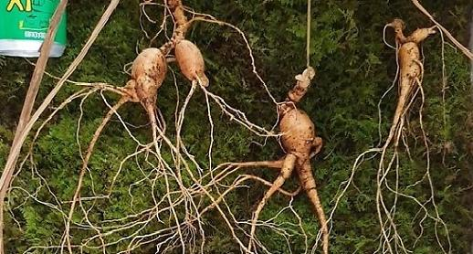 3억짜리 천종산삼 4뿌리