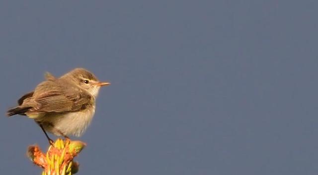 [영상] 반뼘짜리 새가 지구반바퀴? 버들솔새 기적의 비행