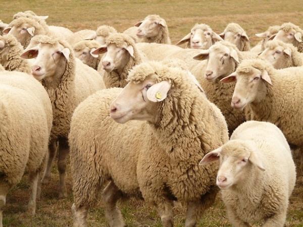 [줌] 중국 양고기 가격 폭등…왜?