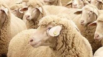중국 양고기 가격 폭등…왜?