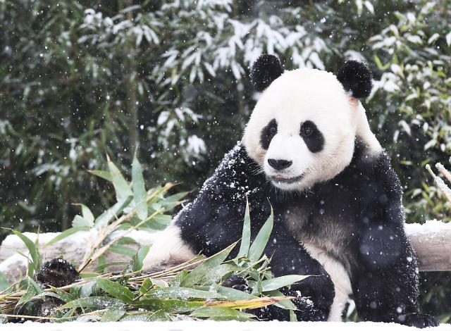 大熊猫玩雪超嗨皮