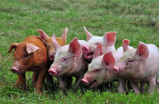 [NNA] 中 정부, 지방 당국에 아프리카 돼지 콜레라 대책 강화 지시