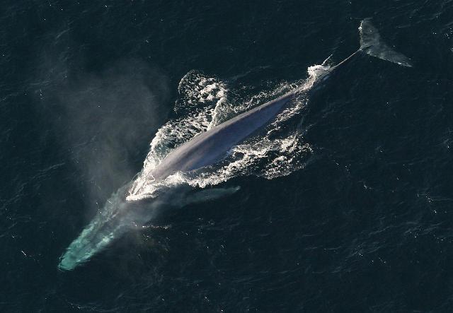 세상에서 가장 큰 고래는? 흰긴수염고래, 길이 23~27m…지구상 동물 중에서 최대
