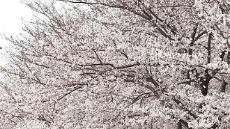 Mùa hoa đào Hàn Quốc sẽ đến sớm hơn mọi năm