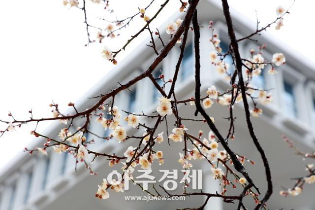 전남대 캠퍼스에 매화꽃 활짝 펴