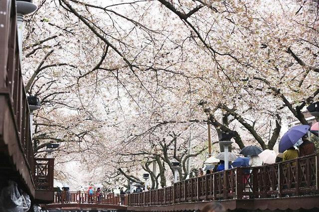 今年韩国樱花最早将提前一周开放