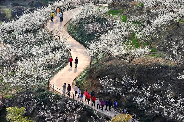 [봄맞이 기차여행②]생기 가득한 봄 축제, 무박 광양매화·구례산수유 기차여행