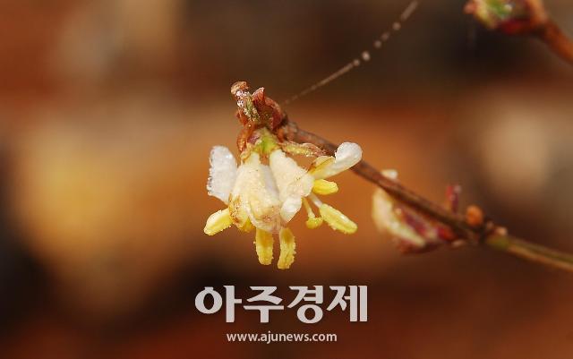 [포토]국립생태원의 봄꽃 '길마가지나무꽃