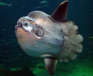 개복치 어떤 물고기? 음식으로 조리해 먹을 수 있나?