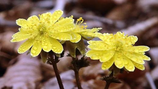 [광화문갤러리] 봄비 머금은 복수초...오늘은 본격적인 봄의 시작을 알리는 춘분(春分)