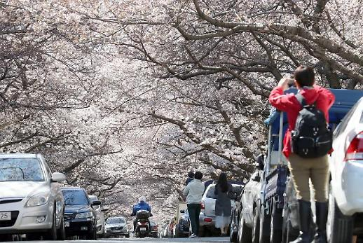 [포토] 부산 남천동 벚꽃 터널