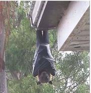 황금볏과일박쥐, 거대 박쥐가 남녀갈등 조장한다?