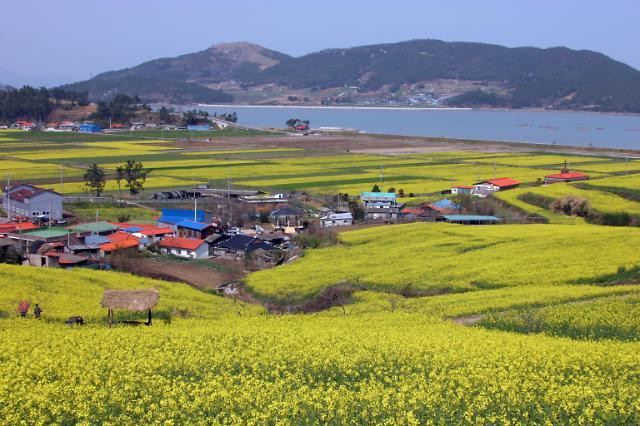 [잘가 여행지-봄]선학동마을, 봄에는 유채꽃으로 뒤덮이는 범죄 없는 무공해 마을