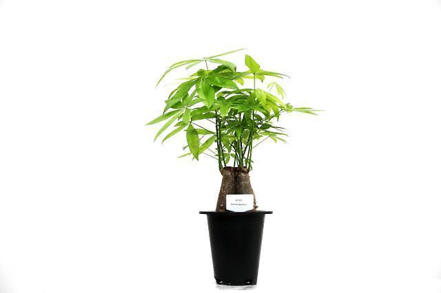 """""""瓜栗""""成为清理室内雾霾最佳植物"""