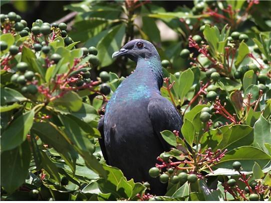 울릉도 여름철새 멸종위기종 흑비둘기 일본서 월동