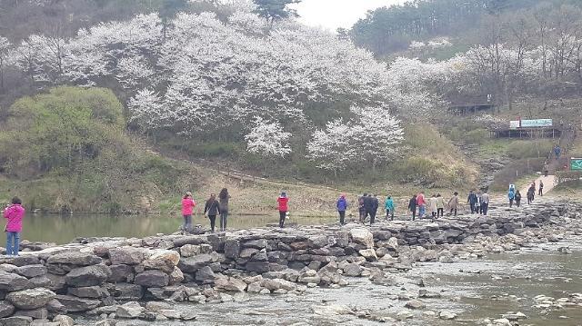 [포토] 벚꽃 만개한 진천 농다리