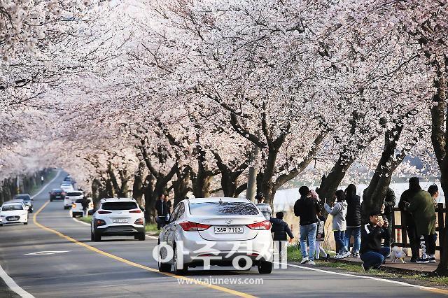 [포토] 보령시 주산면 만개한 벚꽃길