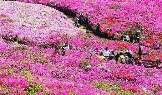Du lịch Hàn Quốc vào mùa xuân: đến Gunpo ngắm những cánh đồng hoa đỗ quyên rực rỡ