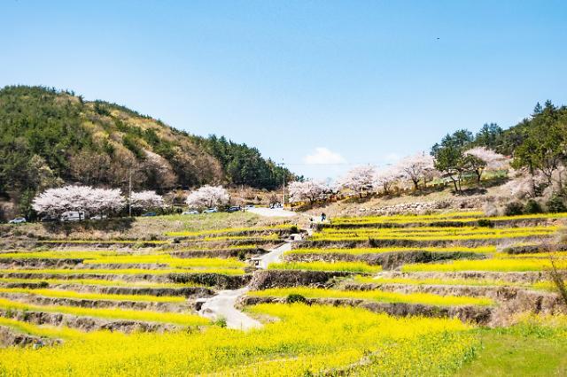 [잘가 여행지-봄]두모마을, 남해군 최고·최대 유채꽃 단지..한가운데 흐르는 하천서 1급수 물 흘러