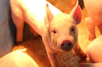 中돼지열병 공급 급감<br/> 돼지고기 금값되나?