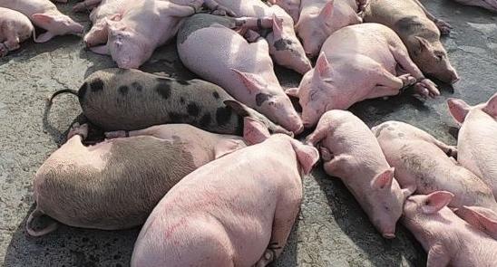 중국발 돼지열병 확산…단백질 파동 온다
