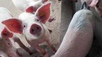아프리카돼지열병 중국 전역 확산...하이난도 피하지 못해