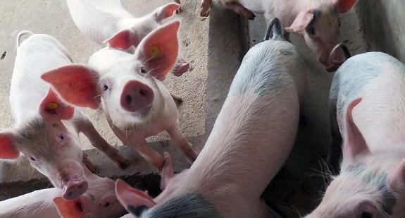 돼지열병 中 확산</br>하이난도 터졌다